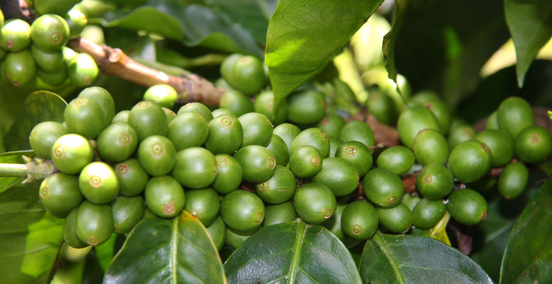 The Coffee Officina Tropical Fruit Symphony NIcaragua